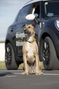 chien, driving dog, conduire, mini, countryman, mini countryman, nouvelle zélande
